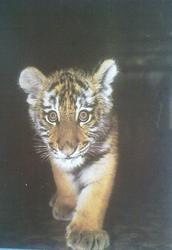 Открытка ''Амурский тигрёнок''